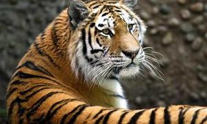 Tiger kills worker in southern Vietnam farm