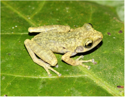 New tree frog discovered in Vietnam jungle