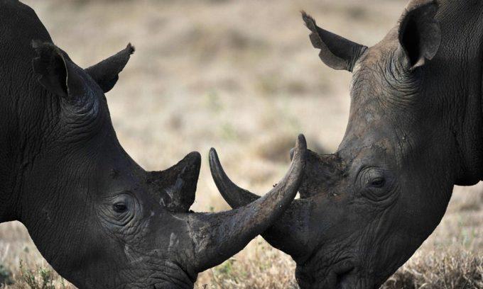 Price of rhino horn plummets in Vietnam
