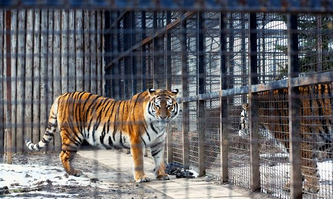 Tiger farms feed illegal trafficking in Vietnam