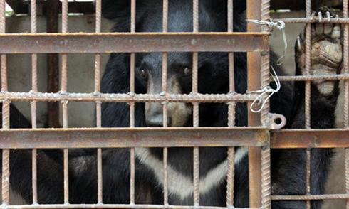 Moon bears released in Mekong Delta region