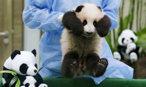 Public display of panda cub cuteness