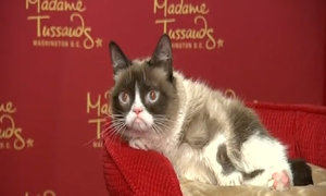 Grumpy Cat unveils waxwork, makes Broadway debut