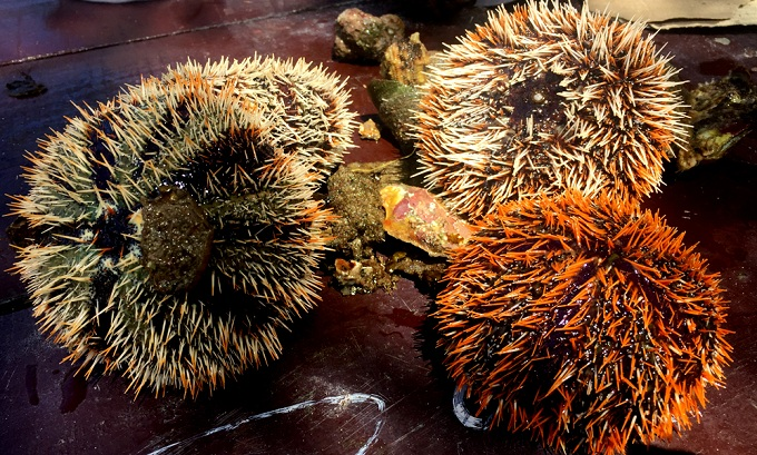 The urchins in Khanh Hoa are the size of a fist and sometimes boast spikes as long as 10 centimeters. October is also the season where urchins are full of eggs. In Vietnam, Quang Ngai, Khanh Hoa and Phu Quoc Islands are the places to find urchins.