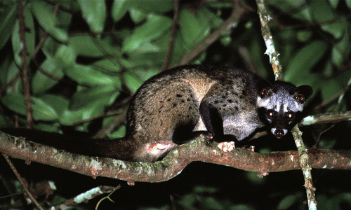 Live civets seized in Cambodia en route to Vietnam