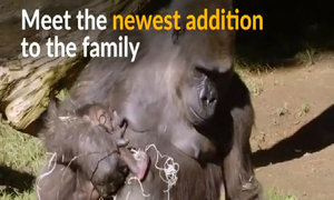 Baby gorilla born from endangered species