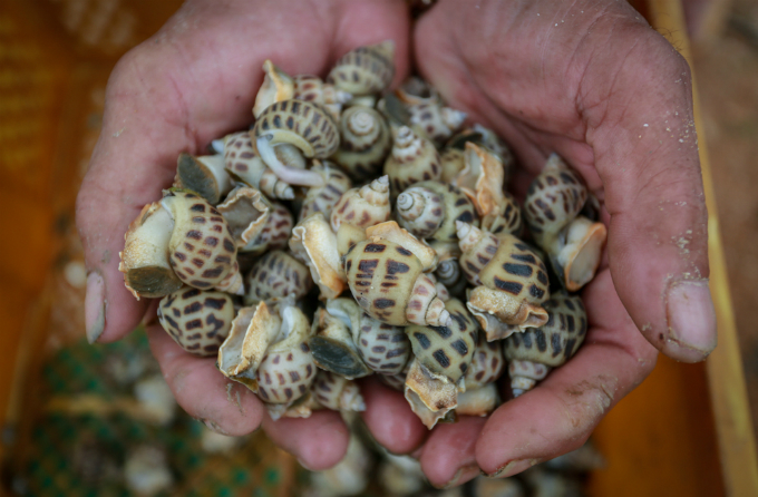 The dead sweet snails are sold at VND20,000 (88 cents) per kg, much lower than VND120,000 for a kg of fresh sweet snails.