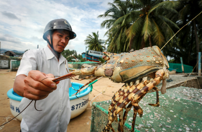 Farmer Nguyen Xuan Thanh said one kilogram of fresh blue lobsters often costs about VND1.7 million ($75) but the same quantity of dead lobsters is only worth VND220,000 ($9.8)-VND550,000 ($24.3).