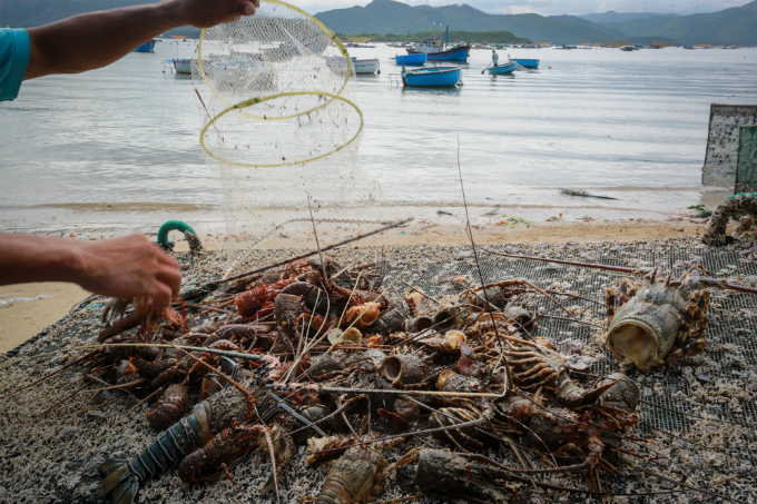 Flash floods triggered by 48-hour rains have sent freshwater to the surface of the coastal seawater, which led to the mass deaths of the lobsters, said Nguyen Xuan Loc, a farmer with more than 30 years of experiences in lobster raising in the commune.