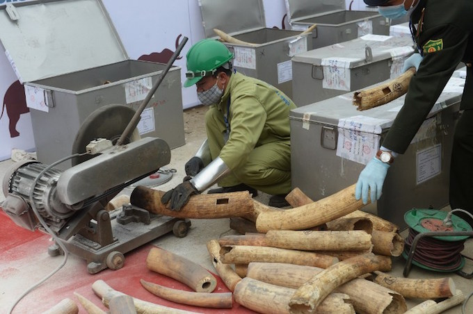 Workers use cutting machines to cut into pieces seized ivory during the countrys first mass destruction of seized horns and tusks held in the suburbs of Hanoi on November 12, 2016. Vietnam on November 12 destroyed a massive stockpile of ivory and rhino horn along with tiger and bear specimens, in an effort to urge the public to stop consuming the illegal wildlife products before its too late. Photo by AFP/Hoang Dinh Nam