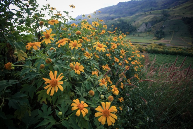 extinct-volcano-dyed-yellow-in-wild-sunflowers-2