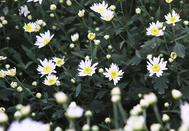 as-dawn-breaks-business-is-booming-upon-rows-of-days-eye-daisies-in-full-bloom-8