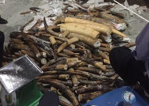 Another 500 kilos of African ivory seized in Vietnam