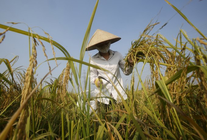 Thin demand drives Vietnam's Jan-Nov rice exports down 25 percent