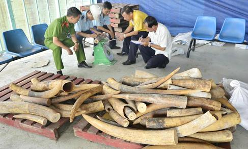 Half a ton of smuggled ivory seized in Saigon