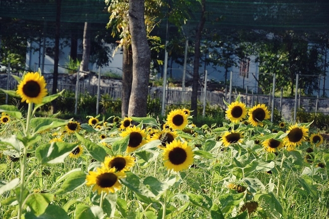 sunflower-garden-shines-for-saigons-camera-hams