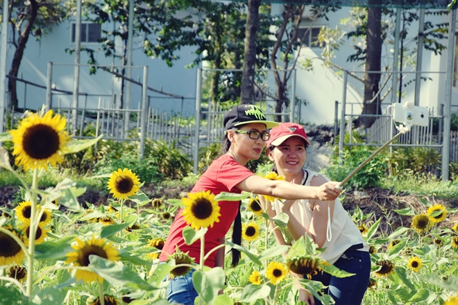 sunflower-garden-shines-for-saigons-camera-hams-1