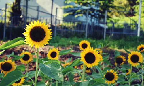 Sunflower garden shines for Saigon's camera hams