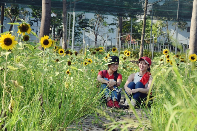 sunflower-garden-shines-for-saigons-camera-hams-4