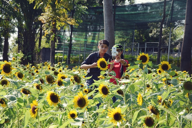 sunflower-garden-shines-for-saigons-camera-hams-5