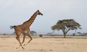 'Silent extinction' of giraffes in Africa