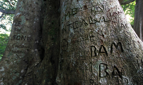 800-year-old banyan tree crippled by carvings in Da Nang