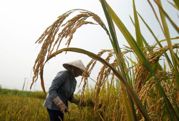Quality not quantity: Vietnam should lower rice export target