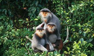 Meet Vietnam's endangered primates