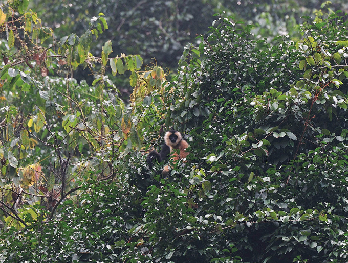 The eastern black crested gibbon (Nomascus nasutus) is a species of gibbon found in northern Vietnam. Currently there are about 130 individuals in Trung Khanh Natural Reserve in the northern province of Cao Bang.