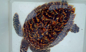Rare turtle returned to sea after escaping dining table in Vietnam