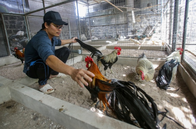vietnamese-breeder-sells-long-tailed-chickens-for-2-800-a-pair-2