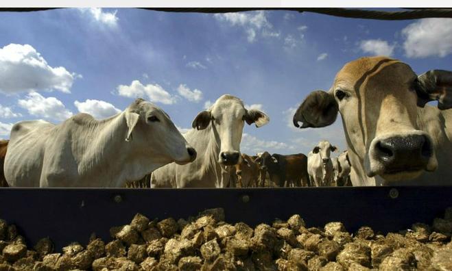 Vietnam continues to mistreat live Australian cattle