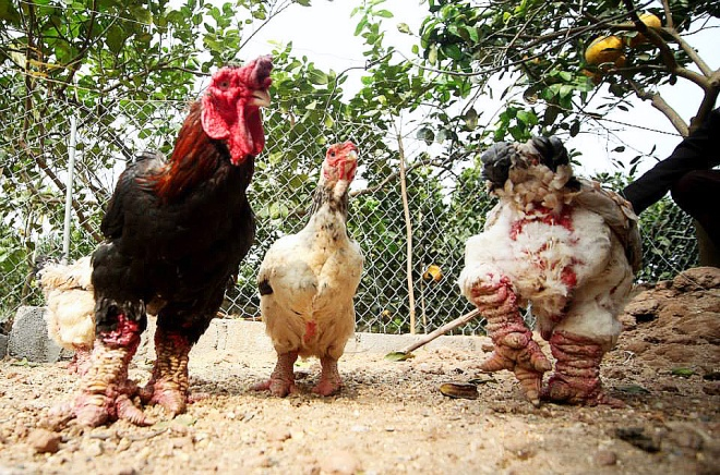 vietnam-readies-rare-birds-for-year-of-the-chicken-7