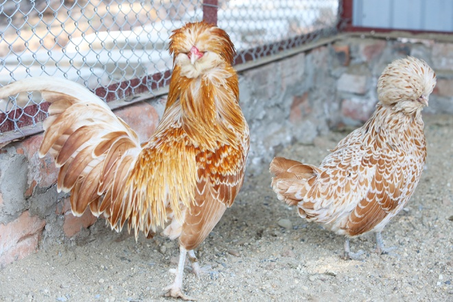 vietnam-readies-rare-birds-for-year-of-the-chicken-3