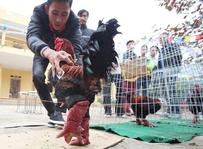 mister-and-miss-chicken-inside-the-poultry-beauty-contest-in-vietnam-2