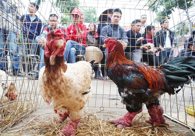 mister-and-miss-chicken-inside-the-poultry-beauty-contest-in-vietnam-3
