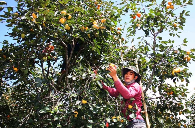 who-says-money-doesnt-grow-on-trees-vietnamese-farmers-cash-in-on-dried-persimmons