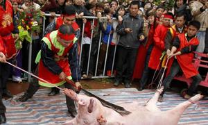 Vietnamese government determined to tone down blood-thirsty festivals