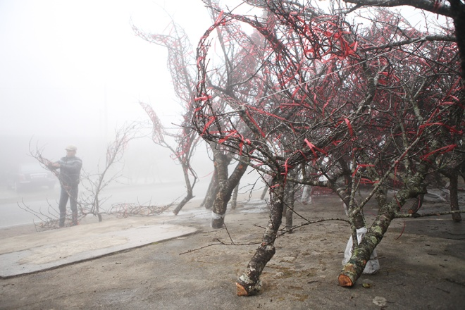 controversy-over-using-wild-forest-peach-blossoms-for-lunar-new-year-4