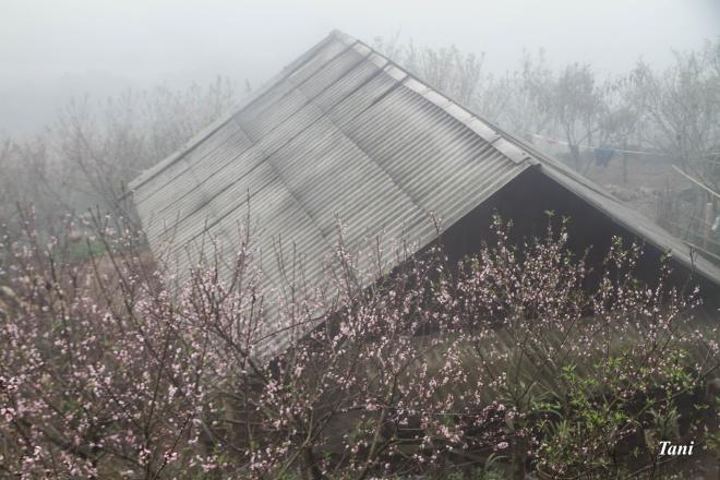 wild-peach-tree-blossoms-lighten-misty-mountains-in-northwestern-vietnam