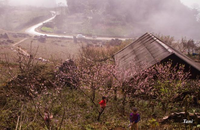 wild-peach-tree-blossoms-lighten-misty-mountains-in-northwestern-vietnam-1