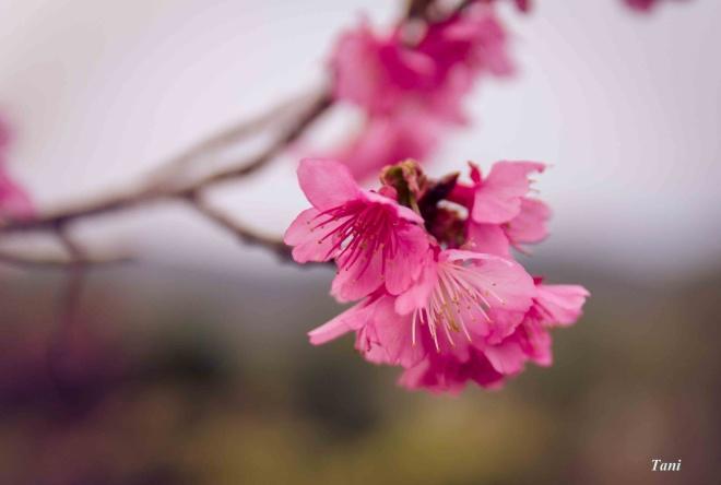 wild-peach-tree-blossoms-lighten-misty-mountains-in-northwestern-vietnam-2