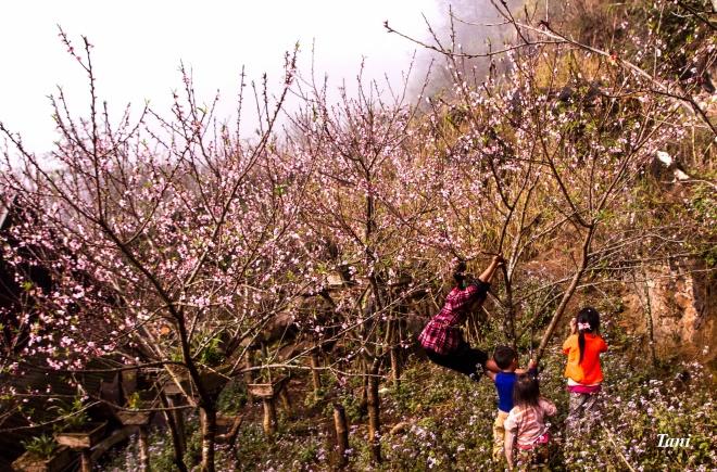 wild-peach-tree-blossoms-lighten-misty-mountains-in-northwestern-vietnam-3