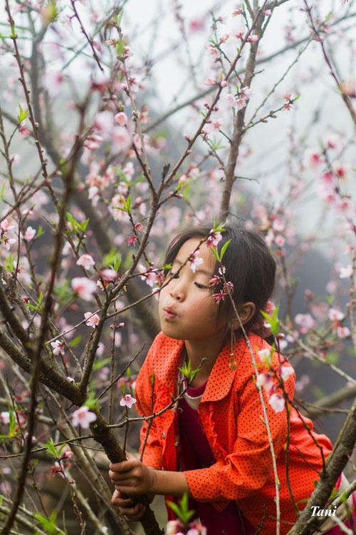 wild-peach-tree-blossoms-lighten-misty-mountains-in-northwestern-vietnam-6