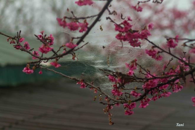 wild-peach-tree-blossoms-lighten-misty-mountains-in-northwestern-vietnam-7