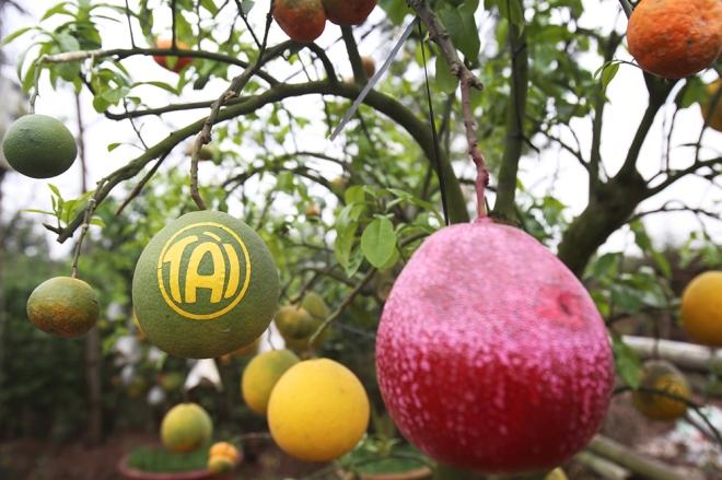 hanoi-farmer-creates-franken-fruit-trees-for-tet-3