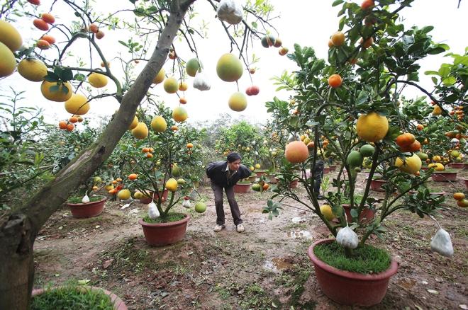 hanoi-farmer-creates-franken-fruit-trees-for-tet