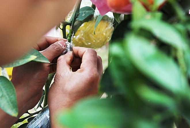 hanoi-farmer-creates-franken-fruit-trees-for-tet-2