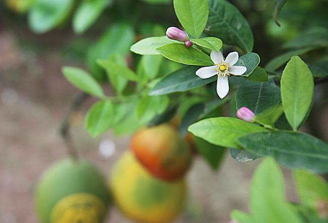 hanoi-farmer-creates-franken-fruit-trees-for-tet-4