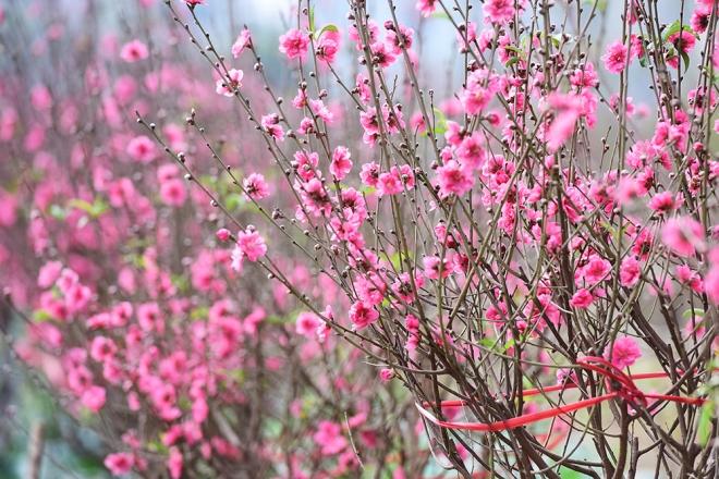 peach-blossoms-and-kumquat-trees-bring-tet-atmosphere-to-hanoi-ed-1